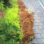 hot water weed control result on shrubs
